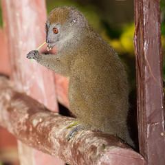 Hapalemur griseus / Gray bamboo lemur / Hapalmur gris (Franois Doroth) Tags: wild wildlife reserve bamboo lemur lemurs endemic madagascar bambou andasibe lmuriens lmurien endemism lmur endmique graygentlelemur analamazaotra hapalemur hapalemurgriseus easternlesserbamboolemur endmisme graybamboolemur hapalmurgris franoisdoroth francoisdorothe