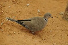 al turtle dove arab ain zoological parkunited dovestreptopelia ainal capicolacape zooal emiratesringnecked dovehalfcollared