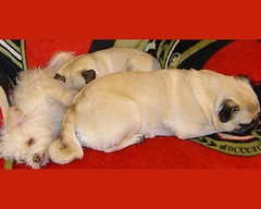 pug pugs sleeping dog dogs funny cute puppy puppies senators hockey nhl sens pets animals humor meme ottawasenators ottawa senator pet animal