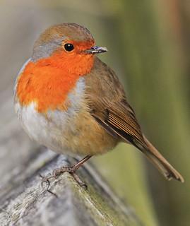 One legged Robin