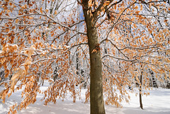 Golden Tree (John Bradtke) Tags: winter red orange snow color tree ice leaves yellow michigan sunny wideangle lightroom nikond200