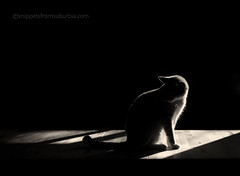 The mysterious Mr. Mister (snippets_from_suburbia) Tags: blackandwhite cat shadows dramatic