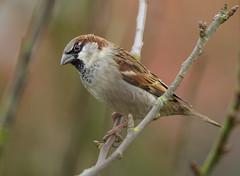PL1D2027 House Sparrow (Passer domesticus), Nuneaton, Warwickshire 03 Feb 2013 (Lathers) Tags: birds garden february housesparrow warwickshire nuneaton 2013 canon1dmarkiv canonef500f4lisusm wkwt