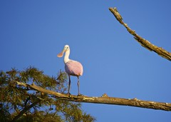 Roseate Spoonbill - My Last Trip with Don (Feathered Trail Photos) Tags: louisiana spoonbill mfcc thegalaxy teche fabuleuse