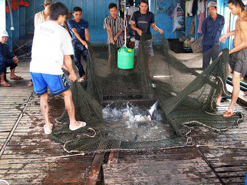 Unloading catfish from the hold of a transport boat in An Giang province, Vietnam. Photo by Kam Suan Pheng, 2011.