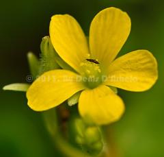 Yellow Weed (Crested Aperture Photography) Tags: flower yellow uganda ug yellowpetals ggaba buganda
