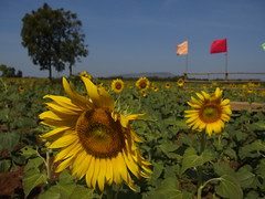 Sun Flower Field Sonnenblumen Feld Tan Tawan Lopburi Province Central Thailand (hn.) Tags: flowers copyright flower field asian thailand asia asien heiconeumeyer southeastasia sdostasien farm farming feld blumen sunflowers thai sunflower blume cultivation anbau sonnenblume copyrighted sonnenblumen sunflowerfield sonnenblumenfeld nongbua centralthailand tantawan lopburiprovince phattananikhom zentralthailand phatthananikhom tp201213 amphoephattananikhom amphoephatthananikhom mittelthailand