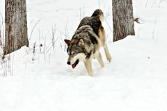 Chasing the Black Wolf **Happy** (MLGreenly) Tags: winter snow minnesota woodland happy oak woods wolf photographer snowy wildlife running cannon greywolf 2013 60d girlphotographer