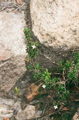Pequeños detalles (RoX4NnE) Tags: flowers white color macro verde green film blanco stone fauna analog canon photo flora colombia zoom ae1 f14 details iso 200 fujifilm detalles litle pequeños santuario iguaque proplusii