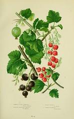 Anglų lietuvių žodynas. Žodis ribes grossularia reiškia ribos grossularia lietuviškai.