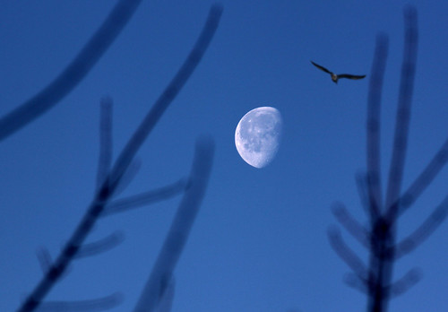 Setting Moon & Gull (b)_5643