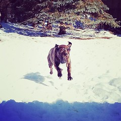 I'm coming mom... (januarys_gem) Tags: dog snow square jump action squareformat brindle leaping airborn amaro iphoneography instagramapp uploaded:by=instagram