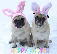 Pug Bunnies Happy Easter (DaPuglet) Tags: dog pets holiday snow cute rabbit bunny bunnies dogs animals easter happy costume spring funny lol humor pug ears meme card pugs greeting