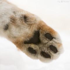 lynx paw (Cloudtail the Snow Leopard) Tags: wildpark pforzheim tier animal säugetier mammal luchs lynx nordluchs eurasischer cat katze pfote paw winter schnee snow cloudtailthesnowleopard