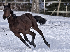 "Running in the snow (Vidar ""the Viking"" Ringstad, Norway) Tags: winter horse brown snow black cold norway canon eos freedom norge frozen vinter europa frost looking tail norwegen fast running 7d ser scandinavia hale brun hest sn horsepower vidar svart autofocus skandinavia kaldt rask kald lper frossen hemnes thewildlife frihet ringstad ydersbotn rememberthatmomentlevel1 rememberthatmomentlevel2 me2youphotographylevel1 creativephotocafe havns"