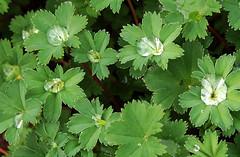 Frauenmantel_DSC_0030 (schaefer_rudolf) Tags: pflanze blte gelbbraun alchemilla frauenmantel rosaceae wildpflanze rosengewchs blhtenpflanze