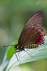 Belus Swallowtail (burnett0305 - Thanks for over 175.000 views!) Tags: usa canon butterfly florida gainesville 7d insekten schmetterling papilionidae pterygota ausrstung ritterfalter fluginsekten canoneos7d battusbelus belusswallowtail canon7d canonef100mmf28lmacroisusm mygearandme mygearandmepremium mygearandmebronze mygearandmesilver mygearandmegold mygearandmeplatinum mygearandmediamond photographyforrecreationeliteclub rememberthatmomentlevel4 rememberthatmomentlevel1 rememberthatmomentlevel2 rememberthatmomentlevel3 rememberthatmomentlevel5 vigilantphotographersunite vpu2 vpu3 vpu4 vpu5 vpu6 vpu7 vpu8 vpu9 vpu10 photographyforrecreationclassic celebritiesphotographyforrecreation butterlyrainforest