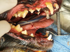 Buzz pre and post dental (Rayya The Vet) Tags: dog canine anaesthetic cockerspaniel geriatric halitosis dentalextractions