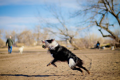 Demon Dog (Anda74) Tags: march colorado action catch bordercollie dogpark tennisball fetch ouzo cherrycreek canonef85mmf18usm