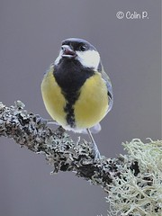 Great Tit (Parus major) (Col-page) Tags: