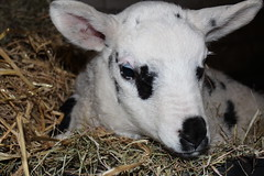 Oh my Sweet Baby  Explore # 38 (23-3-1023 Thanks !!! (excellentzebu1050) Tags: closeup farm explore lamb lambs newlife explored animails takenwithlove lambbirth 100commentgroup coth5 mygearandme rememberthatmomentlevel1 sunrays5 vigilantphotographersunite vpu2
