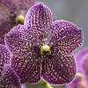 exotic (_aires_) Tags: orchid macro canon florida bokeh aires 100mm vanda ascocenda homestead oa 50d ires homesteadflorida canoneos50d canon50d soroaorchids imagesforthelittleprince canonef100mmf28lmacroisusm fleursetpaysages