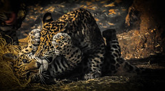Boys Will be Boys (Eve'sNature) Tags: cats nature animals wildlife felines cubs jaguars