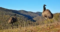 Emu at Cotter Dam (~Jek~) Tags: bird geotagged australia emu canberra aus australiancapitalterritory flightlessbird cotterdam geo:lat=3532493409 geo:lon=14893620014