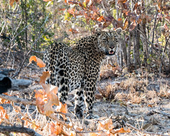 African Leopard 12 (MarcCooper_1950) Tags: africa african leopard spotted predators bigfive