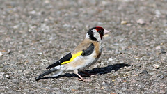 Goldfinch (NickWakeling) Tags: goldfinch finch norfolk nature oldcatton canon60d canonef400mmf56lusm wildlife