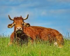 Chilling cow (mheckerle) Tags: cow kuh khe 2016 natur farm nature animals landscape landschaft landwirtschaft rinder hessen hesse germany