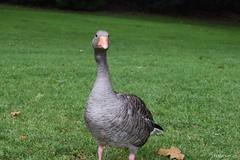 Patos en Hyde Park (j.manzanore) Tags: flora fauna animales animals ducks patos green park hydepark londres london paisaje landscape