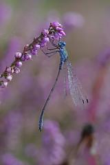 Male Emerald On Heather (Hugobian) Tags: hertford heath nature reserve hmwt insect macro wildlife flora fauna pentax k1 emerald damselfly