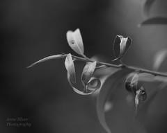 Silver (l'imagerie potique) Tags: limageriepotique poeticimagery hmbt salix willow macro bokeh