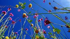 20160707 Lemberg Wiese (43) (j.ardin) Tags: deutschland germany allemagne alemania rheinlandpfalz lemberg wiese meadow lawn greenfield prairie pre prado blumen flower fleur flor blauerhimmel bluesky