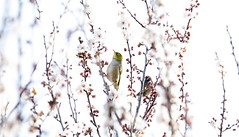 Tiny silvereye eating nectar (Caramel Kisses Photography) Tags: silvereye spoggie spring bird nectar blossoms flowers sunglow morningsun morning pink birdphotography nature australia adelaide