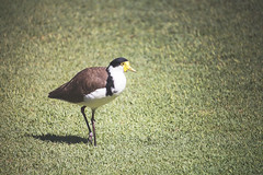 Masked Lapwing (Schwaco) Tags: sydney australia sydneyaustralia bird yellow beak masked lapwing grass wing brown shadow