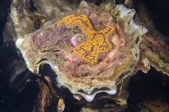 Li la layer (Arne Kuilman) Tags: zeeland duiken diving scubadiving underwater onderwater oosterschelde nederland netherlands zeelandbrug zlb macro 60mm d7000 diopter 3 closeup animals life ikelite nikon japanseoester botrylloidessp slingerzakpijp ascidian tunicate