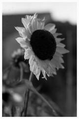 """""""Envie de changement... La lumière baisse... Le tournesol a le bourdon..."""" (The Blue Water Lily's Company) Tags: fdrouet afd blackandwhite noiretblanc blancoynegro biancoenero bw nb film analogique analogue analogico nikon nikkor f801s 50mm18 scan epson v370 fp4 lc29 crépuscule twilight tournesol sunflower fleur flower nature monochrome monochrom grain"""
