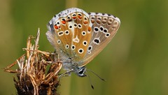 Adonis Blue 240816 (4) (Richard Collier - Wildlife and Travel Photography) Tags: macro adonisblue butterflies insects wildlife naturalhistory british blue