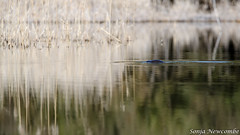 _SLN9885 (sonja.newcombe) Tags: tid tidbinbilla australia canberra wildlife platypus nikon d7000 sigmalens
