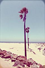 Sentinelle (Anemic Amour) Tags: california sandiego pacifico ocean oceano sea mare spiaggia beach palme palms