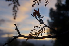 Nature Silhouette (Heather's Reflections Photography) Tags: sunset twilight twig branch tree night dark sillouette nature blue bluesky sky plants lace delicate beauty beautiful elegant