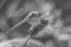 Dragon fly (Rob A Atkins) Tags: doncaster dragonfly insect macro pottericcarr summer uk yorkshire yorkshirewildlifetrust blackandwhite bug closeup monochrome nature plant resting wings wildlife