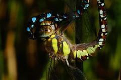 DSC09497 - Migrant Hawkers (steve R J) Tags: migrant hawkers bowers marsh rspb reserve mating wheel odonata british dragonfly