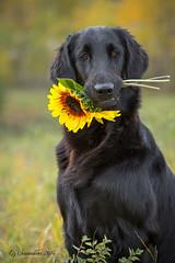 Happy 3rd Birthday Larkin! (Blazingstar) Tags: larkin birthday 3 years blazingstar black bubbly retriever flatcoated dog sunflower fall