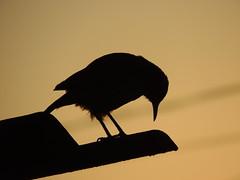 Joo de Barro (Mrcio100) Tags: mar joo de barro passarinho pssaro ave silhueta marcio100 mrcio alves natureza sombra