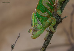 Leipzig, Zoo, Aquarium, Chameleon (joergpeterjunk) Tags: leipzig zoo aquarium indoor tier chameleon canoneos50d canonef100400mmf456lisusm
