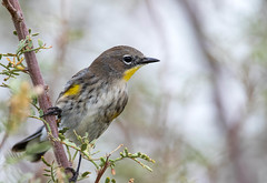 Yellow-Rumped Warbler (Ed Sivon) Tags: american america canon nature lasvegas wildlife wild western southwest clarkcounty clark vegas bird henderson nevada nevadadesert preserve