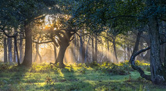 Woodland Rays (nicklucas2) Tags: tree sunrise ray grass green woods sunlight